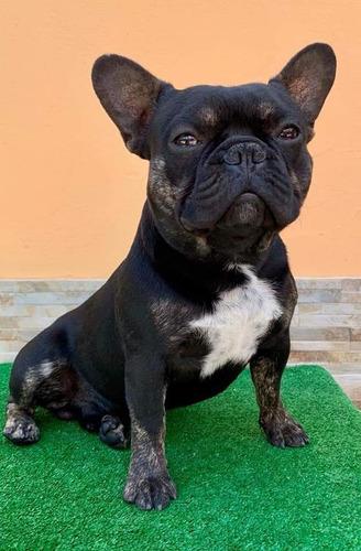 monta bulldog francés black and tan con gen blue