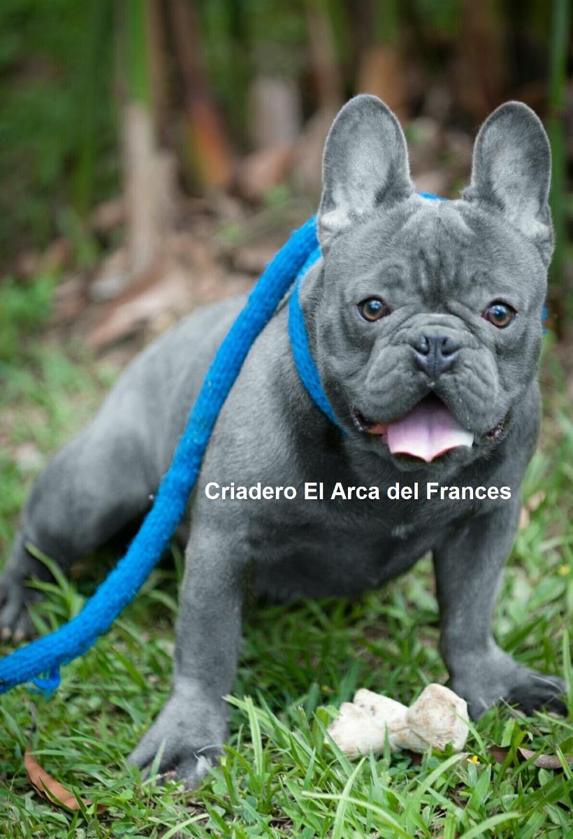 Monta Bulldog Frances Blue Importado 1500000 1500000 En