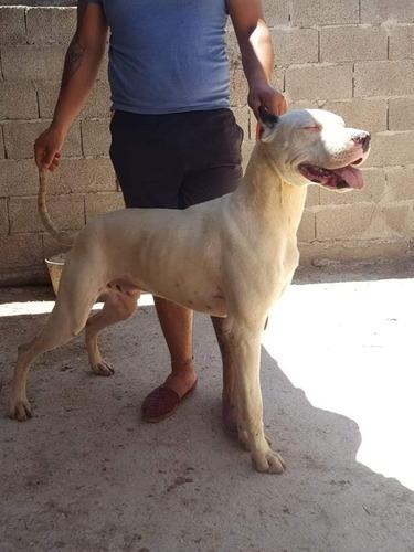 monta de perro dogo argentino con pedrigee