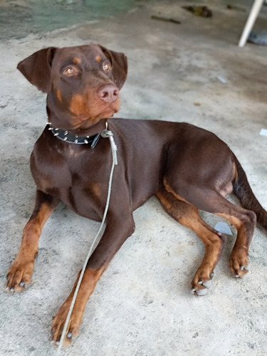 monta doberman marron