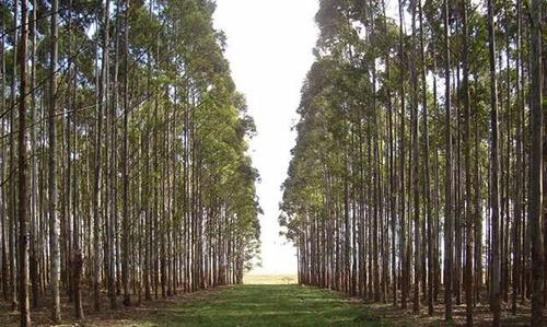 monte de eucaliptos