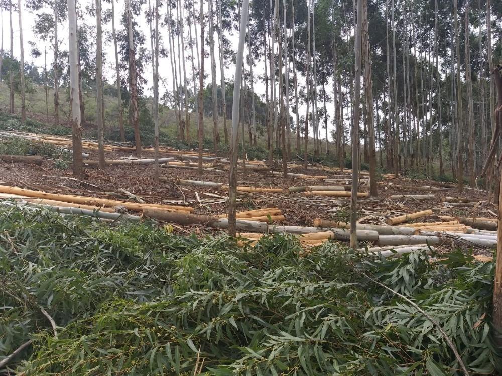 monte de eucaliptus grandis para cortar
