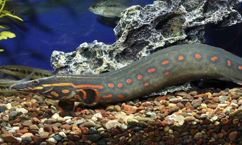 moreia red spotted eel fire