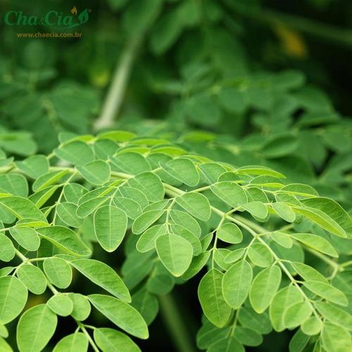 moringa oleífera 03 mudas 30 cms  árvore da vida  + brinde