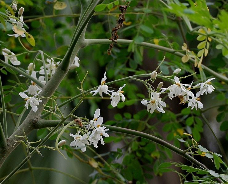 Moringa oleifera el arbol de la vida mudas 650 00 en for Viveros frutales wikipedia