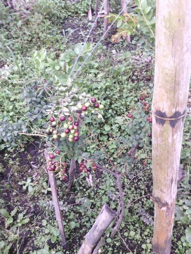 mortiño, agraz, frutos y plantas