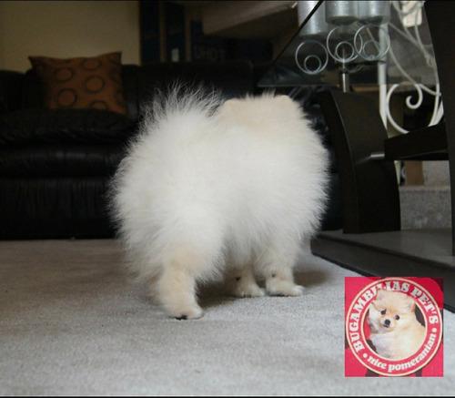 msi cachorro pomerania mini cara de oso pedigree foto real