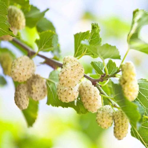muda amora branca produzindo, medicinal e muito saborosa