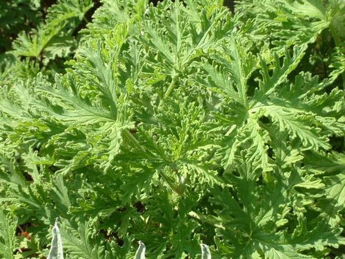 muda citronela americana-citrosa geranium espanta mosquito