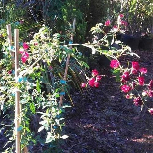 muda da flor mini rosa trepadeira - ideal para cerca viva!