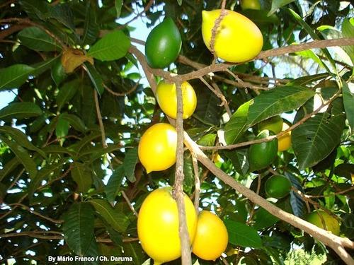 muda de abiu amarelo, raro, exótico e muito saboroso !