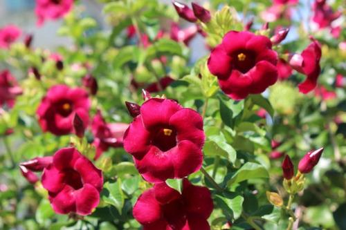 muda de alamanda vermelha -para vasos, jardins e cerca viva