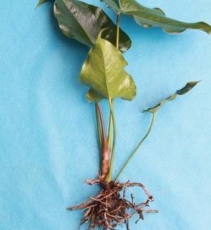 muda de antúrio púrpura ( anthurium andraenum ) - 20 a 30cm