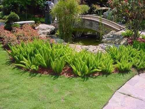 muda de aspargo pluma - aspargus densiflorus - 10 a 15cm
