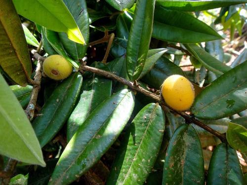 muda de cabeludinha frutifera nativa sudeste +ou- 80 cm
