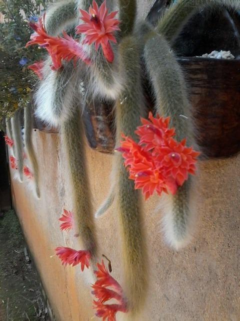 c5287651c Muda De Cacto Rabo De Macaco - Exotico R 1