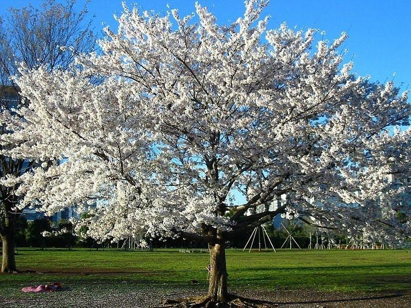 Muda De Cereja Cerejeira De Flor Branca Prunus Serrulata