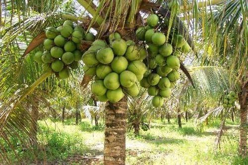 muda de coco anão precoce (produz em 2/ 3 anos)