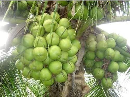 muda de coco coqueiro anao frete gratis acima de 10 unidades