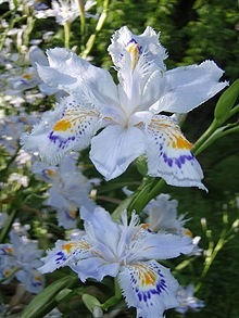 muda de íris japonesa ( iris japonica ) - 8 a 20cm
