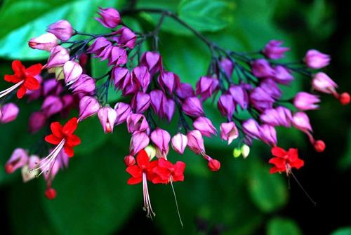 muda de lágrima de cristo vermelha-vasos, jardins cerca viva