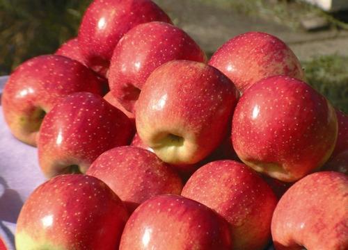 muda de maçã juileta doce enxertada para climas quentes