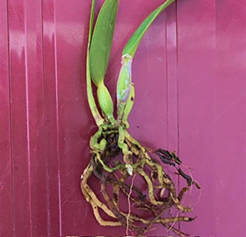 muda de orquídea catleya branca - 10 a 20cm - promoção!