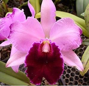 muda de orquídea catleya pink - 10 a 20cm - promoção!
