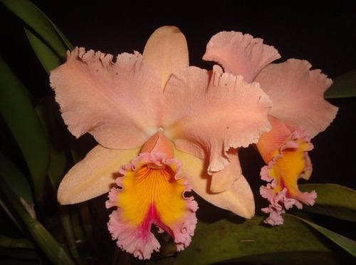 muda de orquídea catleya salmão - 10 a 20cm - promoção!