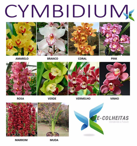 muda de orquídea cymbidium vermelho - 10 a 15cm - promoção!
