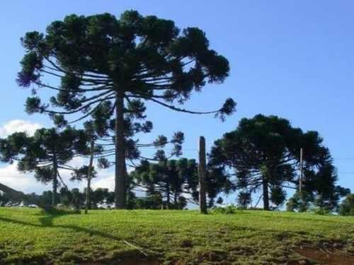 muda de pinheiro araucária - do delicioso pinhão.