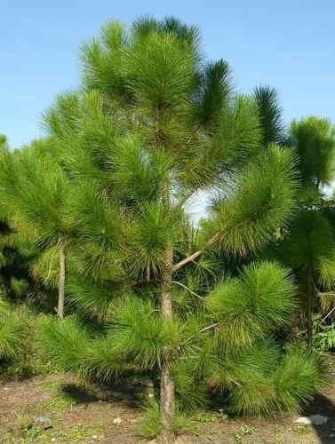Muda De Pinus Elliotti Bonsai Vaso E Madeira R 39 99