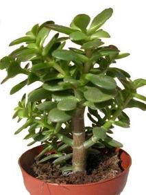 Muda De Planta Jade Crassula Ovata Mini Arvore Bonsai 30cm