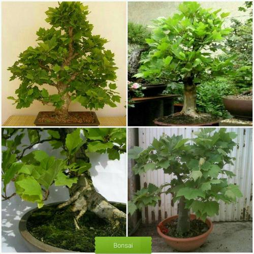 muda de plátano - vigorosa árvore de sombra - bonsai
