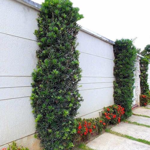 muda de podocarpo ou podocarpus - arbusto para cerca viva