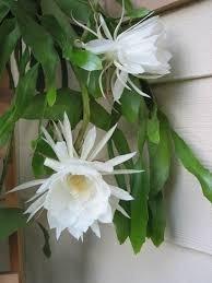 muda estaca, rainha, dama da noite branca cacto orquídea