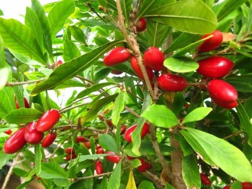 muda fruta do milagre +/- 30 cm