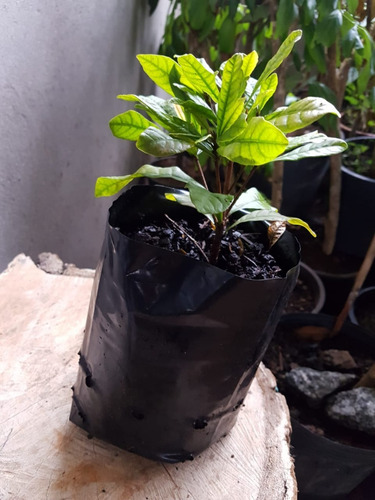 muda fruta do milagre +ou- 20 cm frete gratis
