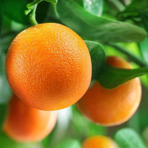 muda laranja charmute pera mel enxertada a mais doce