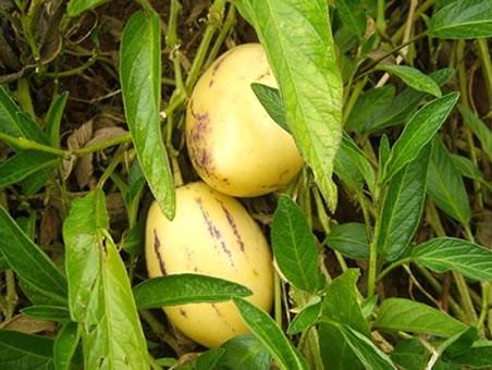 muda melão do andes ( solanum muricatum ) - 15 a 30cm