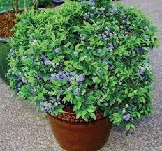 muda mirtilo /blueberry, produzindo +ou- 1 mt