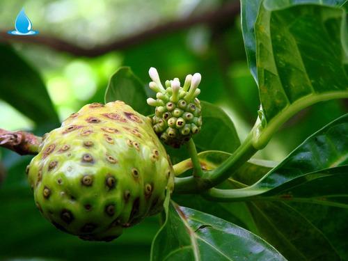 muda  noni produzindo (com frutos) medicinal e