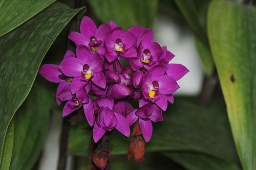 muda orquídea grapete ( spathogottis unguiculata ) 10 a 20cm