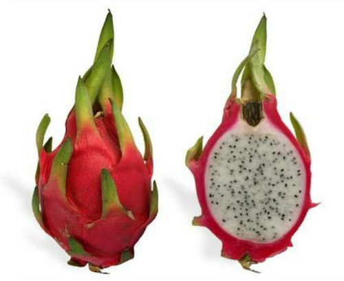 muda pitaya dragon fruit polpa branca 25cm #frutashugreen