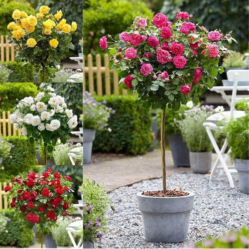 muda rosa roseira arbustiva, faça uma copa linda !!!