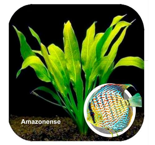 mudas adulta echinodorus amazonense p/ aquário low tech