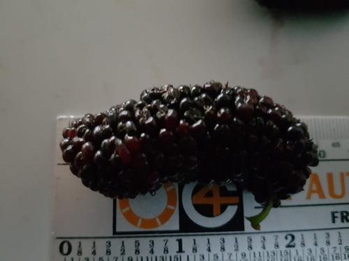 mudas amora preta gigante  (big) produzindo foto original
