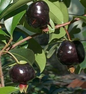 mudas de cereja preta brasileira (grumixama)