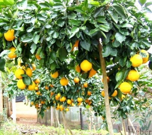 mudas de laranja trepadeira - enxertadas