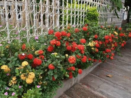 Mudas De Mini Ixora Flor Amarela Ou Vermelha - R$ 10,00 em